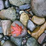 Maple Leaf on River Bed