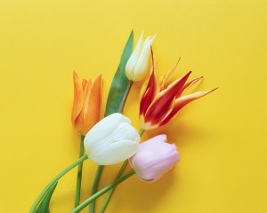 Variety of Tulips