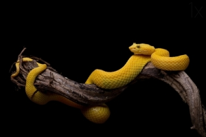 the-eyelash-viper-bothriechis-schlegelii-photo-by-thor-hakonsen